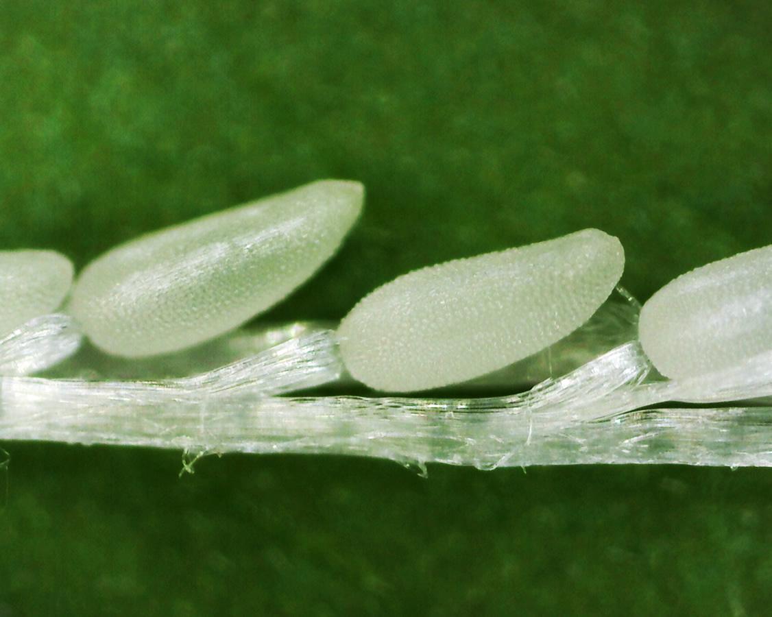 Kleinblütiges Weidenröschen 23