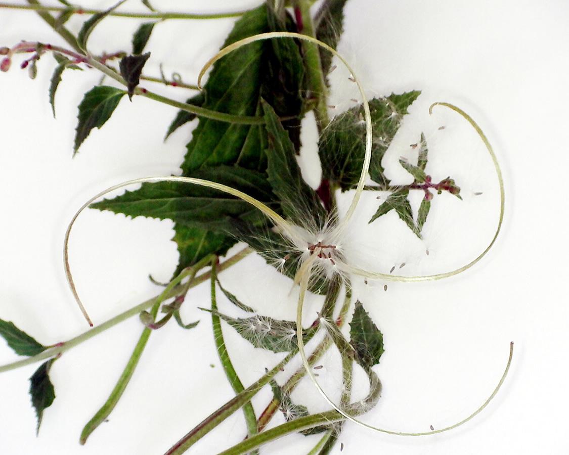 Kleinblütiges Weidenröschen 25