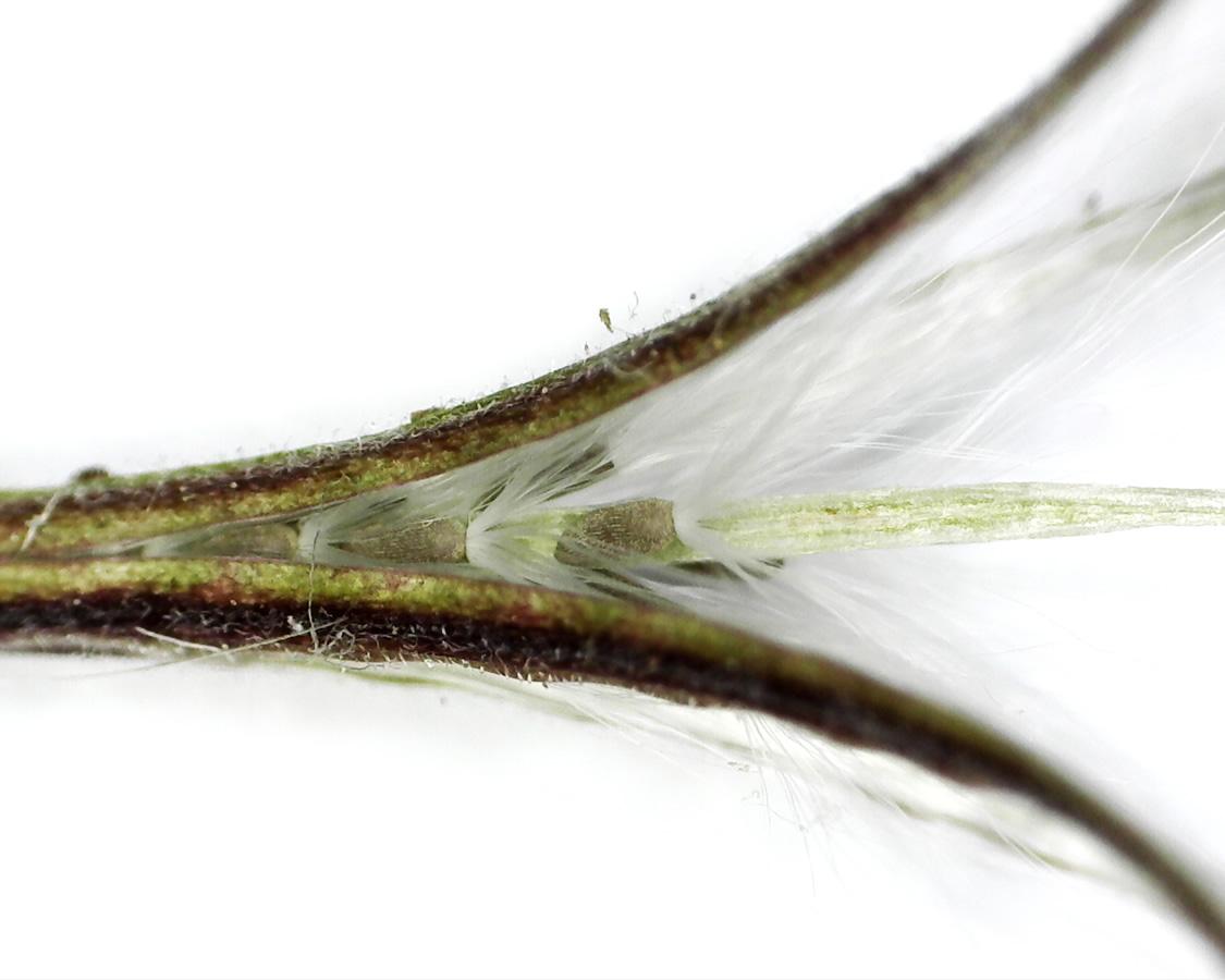 Kleinblütiges Weidenröschen 27