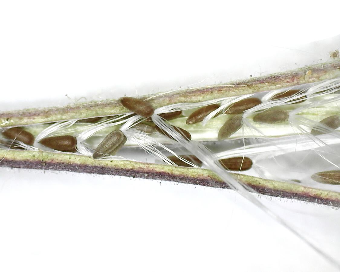 Kleinblütiges Weidenröschen 28