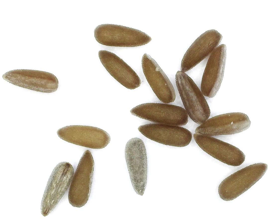 Kleinblütiges Weidenröschen 32