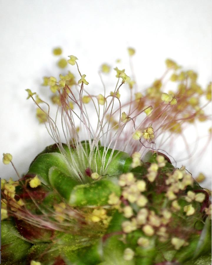 Kleiner Wiesenknopf 04