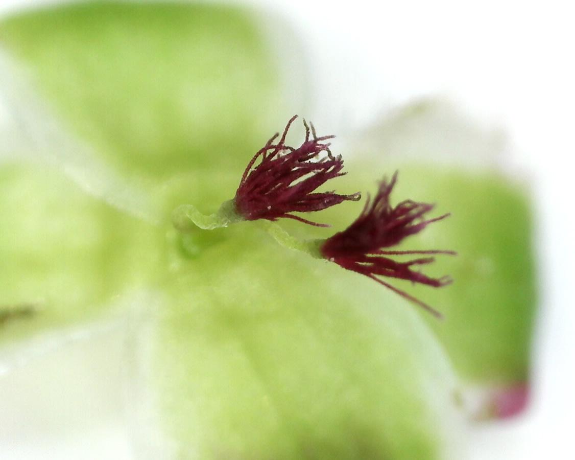 Kleiner Wiesenknopf 07