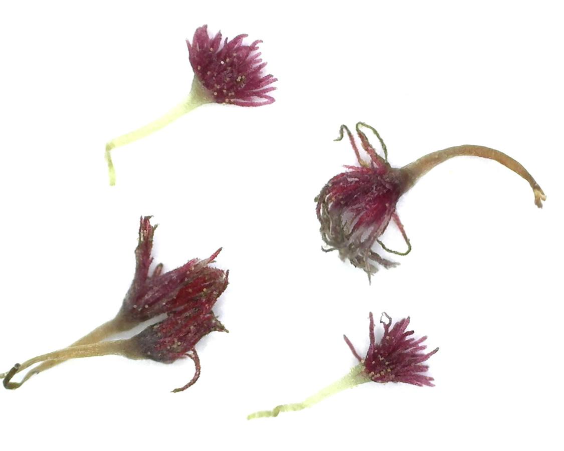Kleiner Wiesenknopf 09