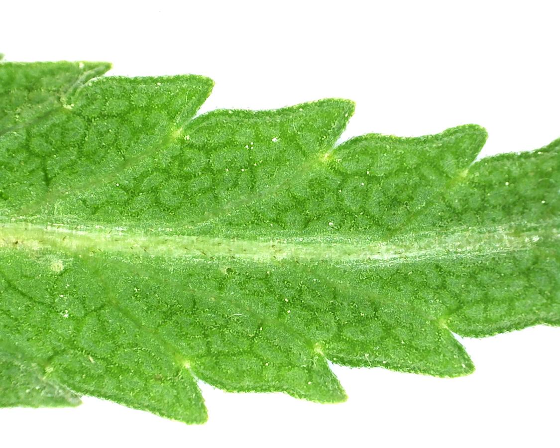 Kleiner Wiesenknopf 16