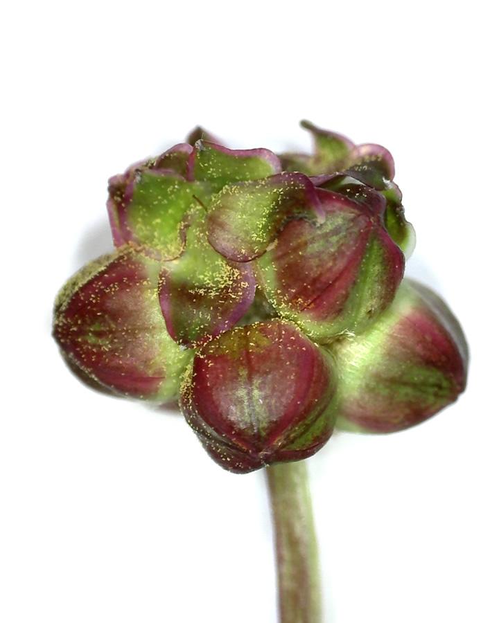 Kleiner Wiesenknopf 17