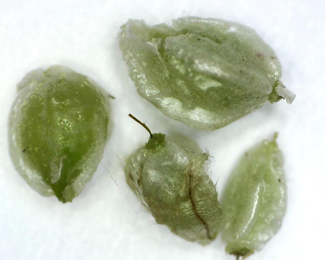 Kleiner Wiesenknopf 24