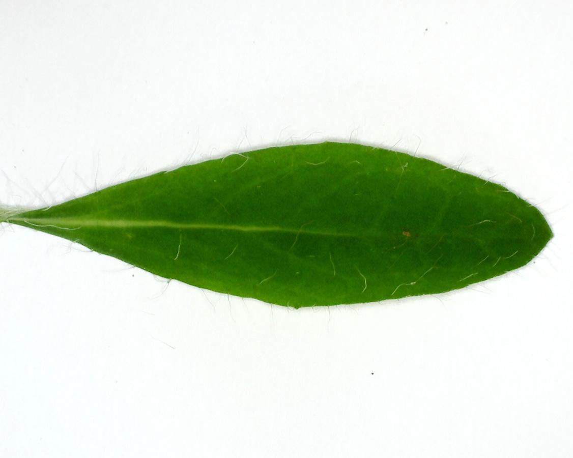 Kleines Habichtskraut 26