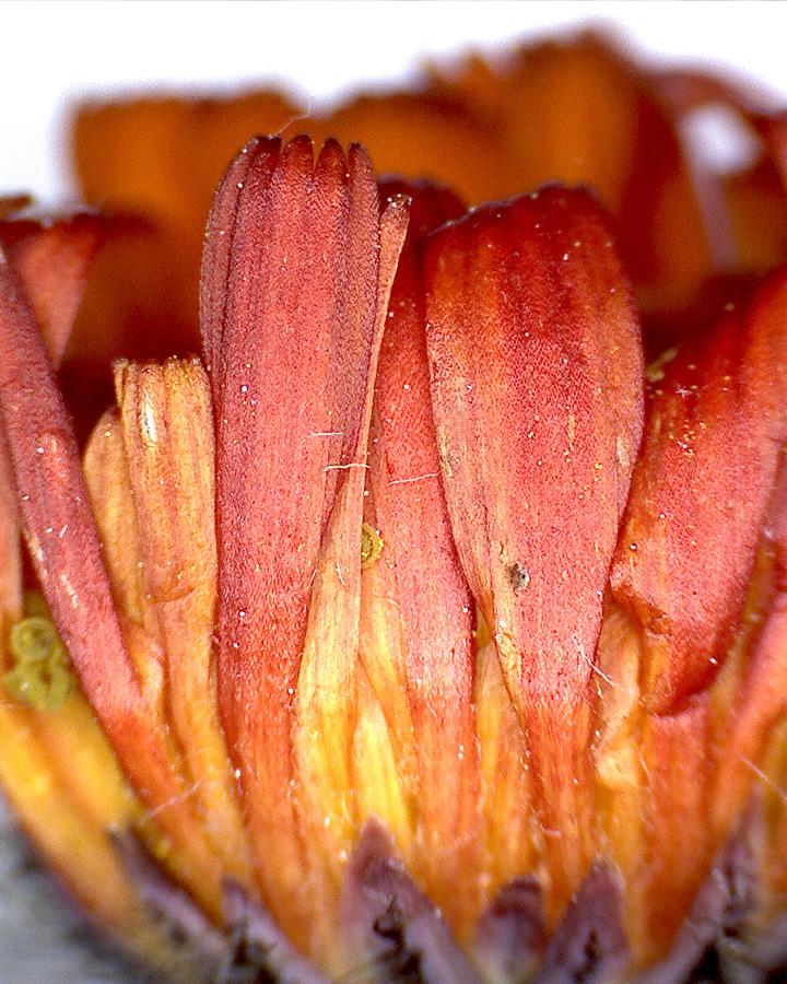 Orangerotes Habichtskraut 05