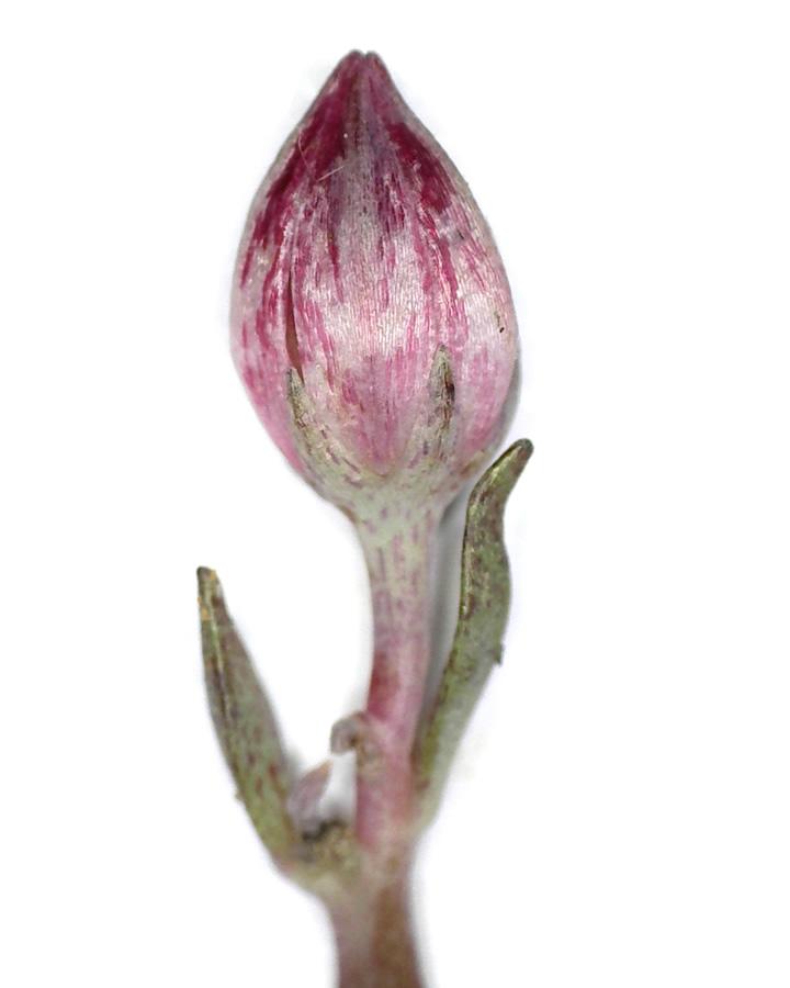 Purpur-Fetthenne 12