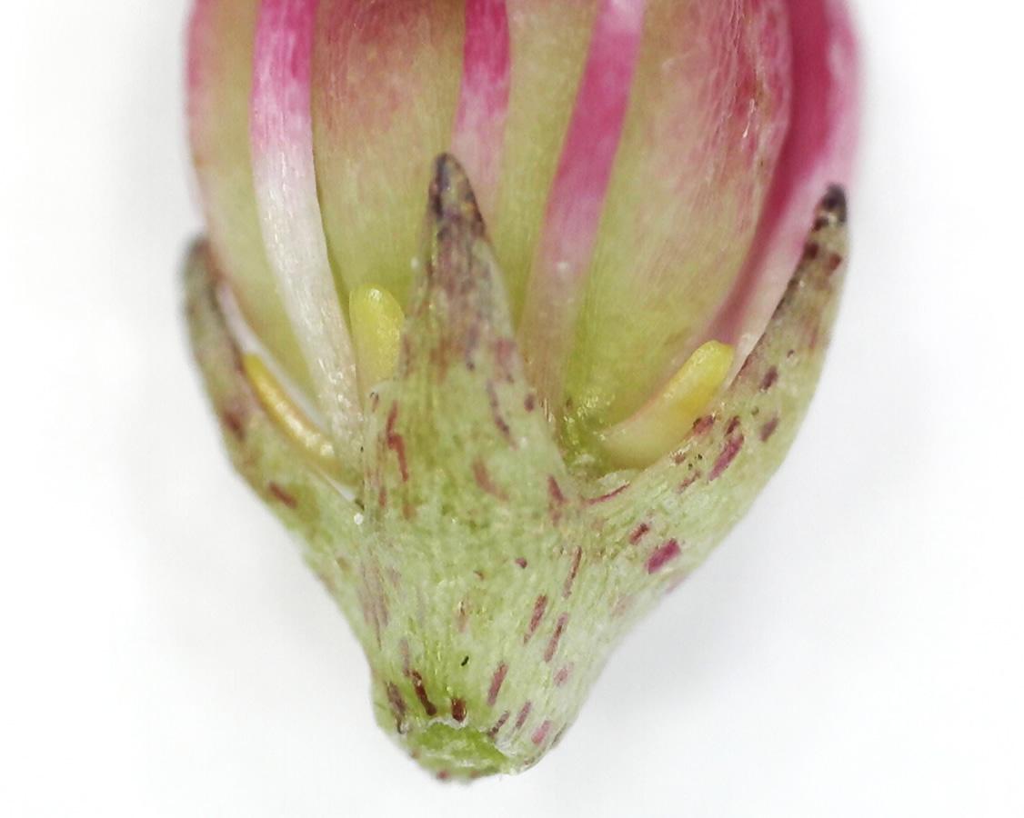 Purpur-Fetthenne 14