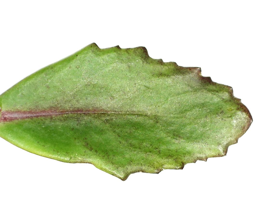 Purpur-Fetthenne 16