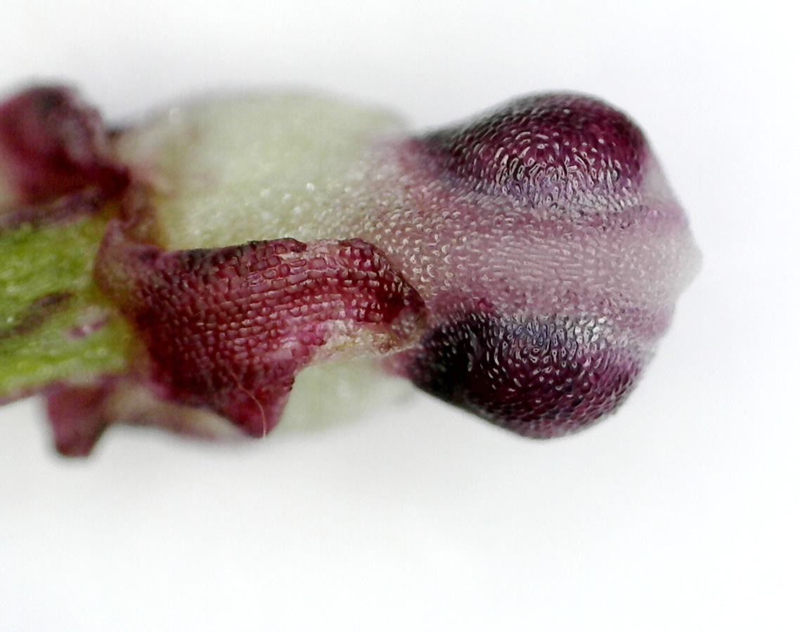Purpur-Knabenkraut 16