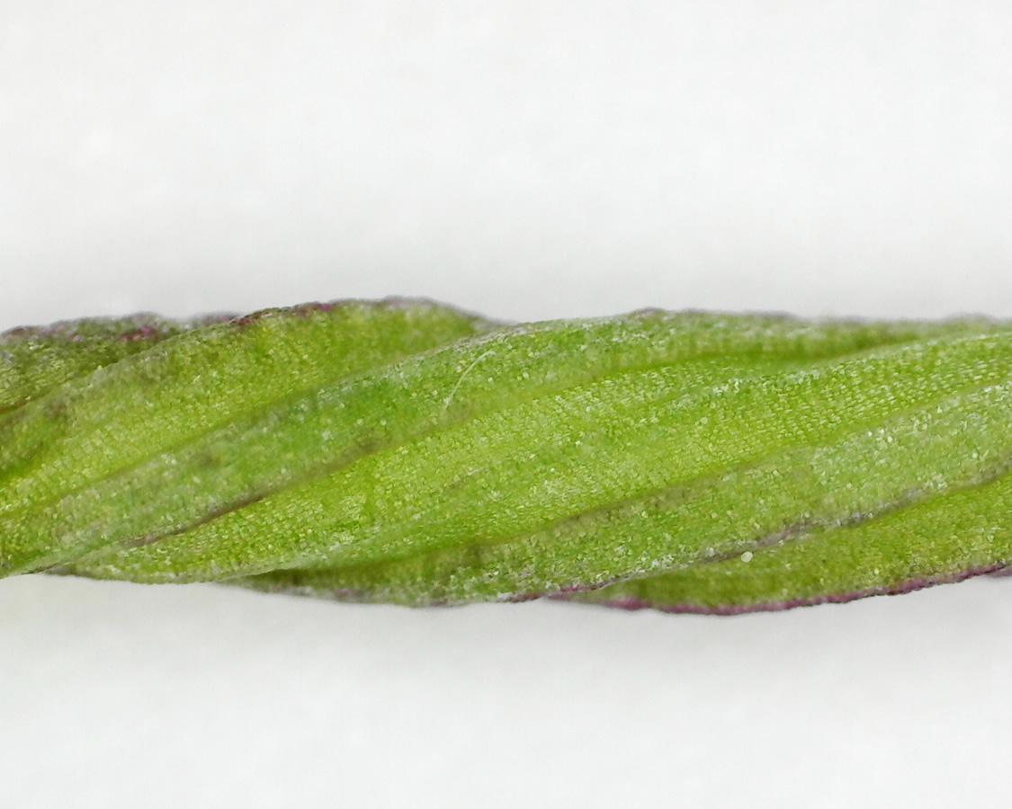 Purpur-Knabenkraut 19