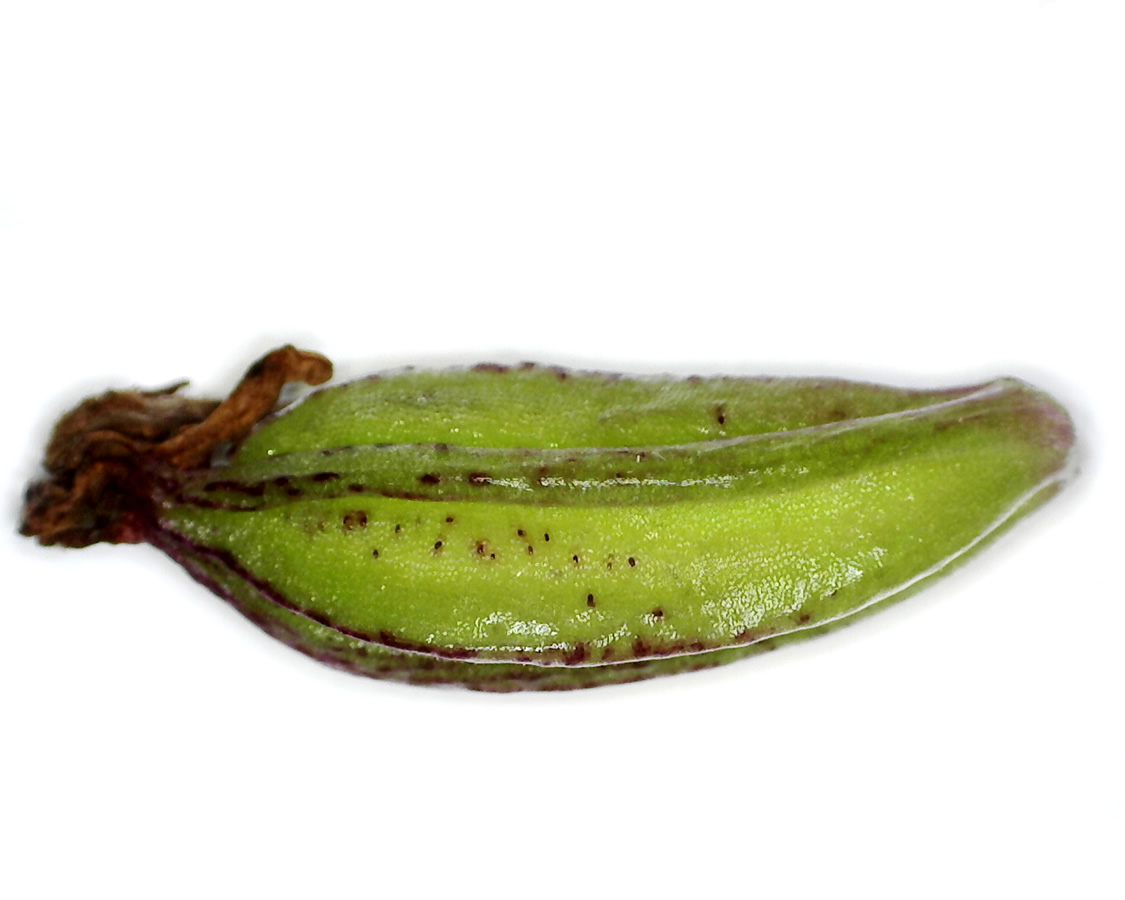 Purpur-Knabenkraut 30