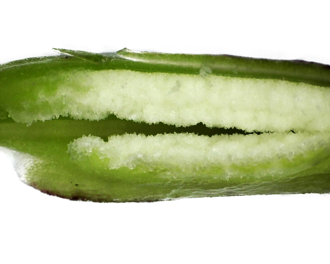 Purpur-Knabenkraut 33