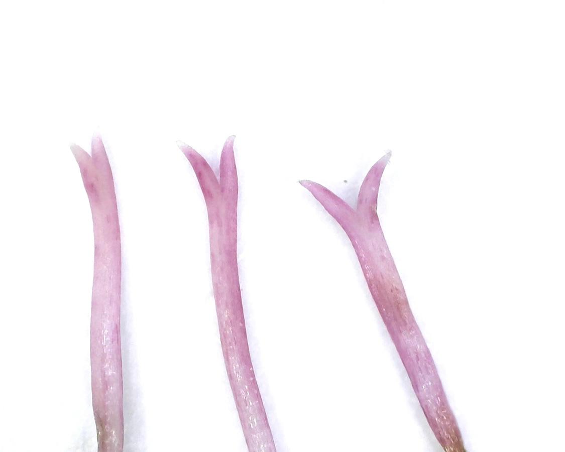 Sumpf-Ziest 21