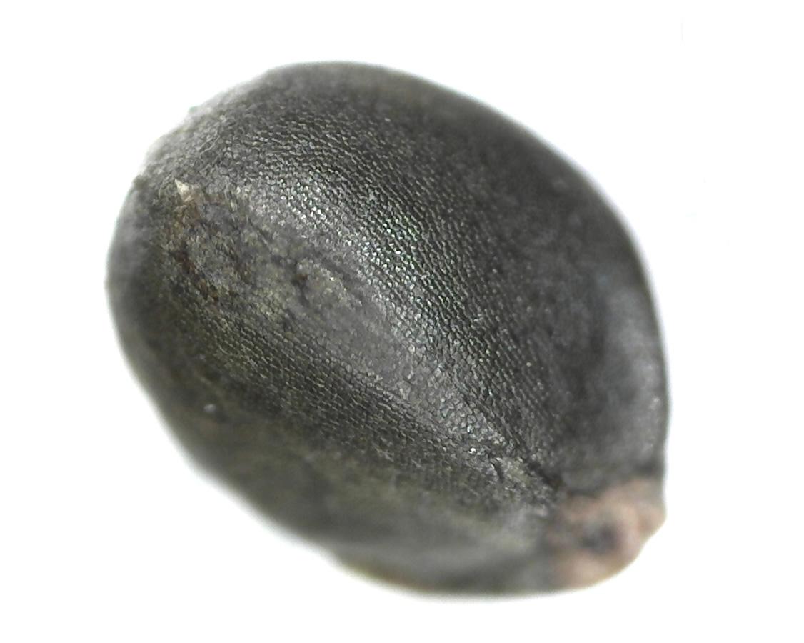 Sumpf-Ziest 33