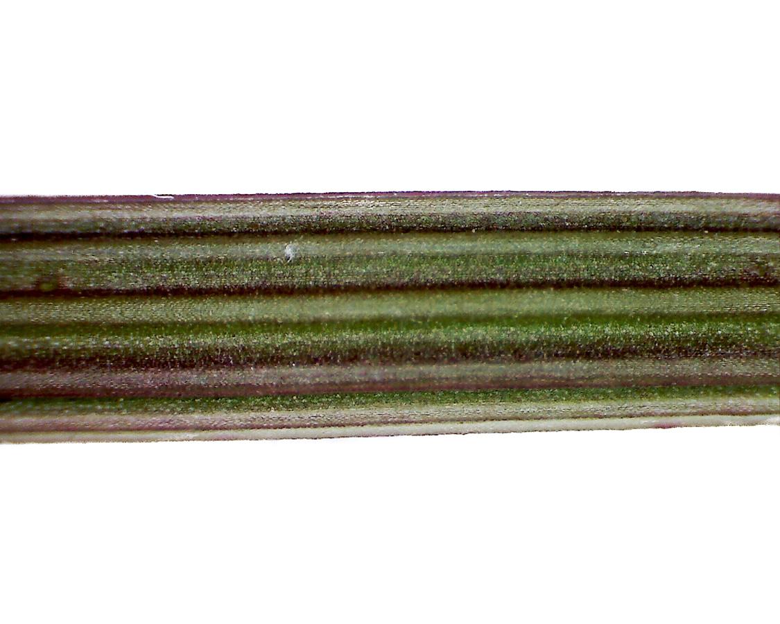 Wiesen-Sauerampfer 17