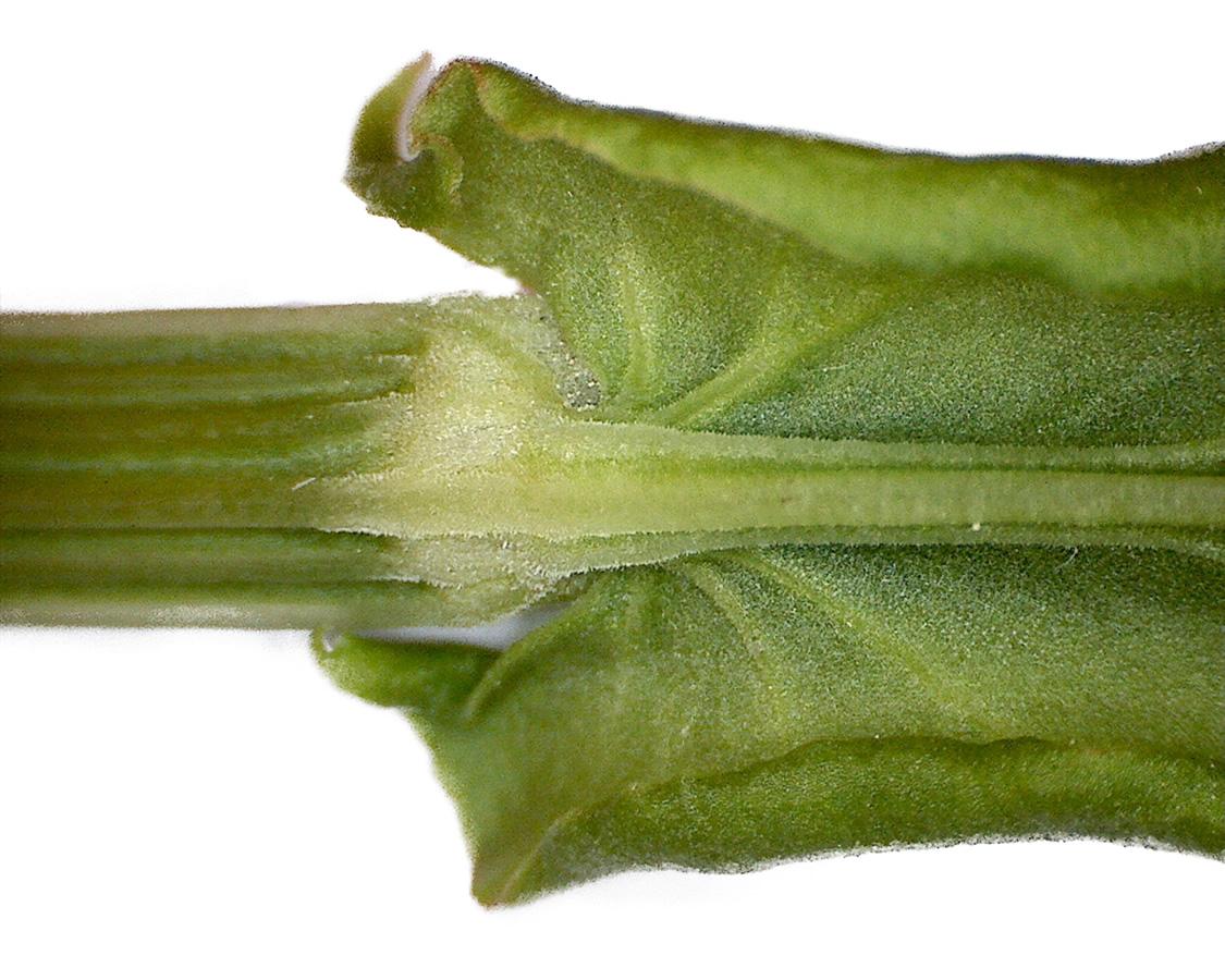 Wiesen-Sauerampfer 20