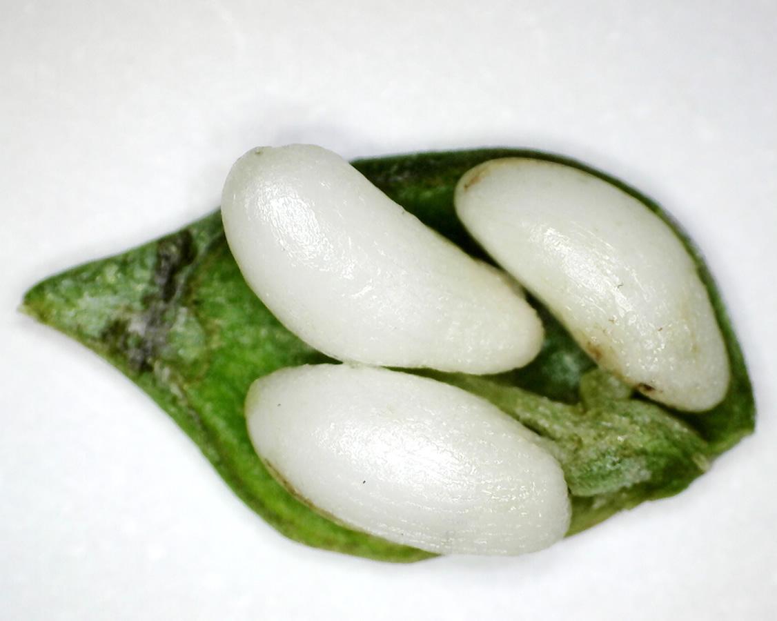 Wiesen-Wachtelweizen 16