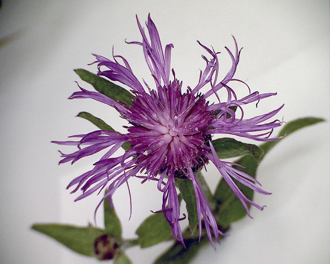 Wiesenflockenblume 02