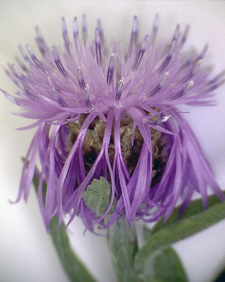 Wiesenflockenblume 03