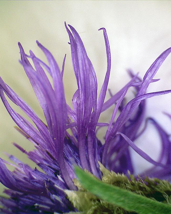 Wiesenflockenblume 04