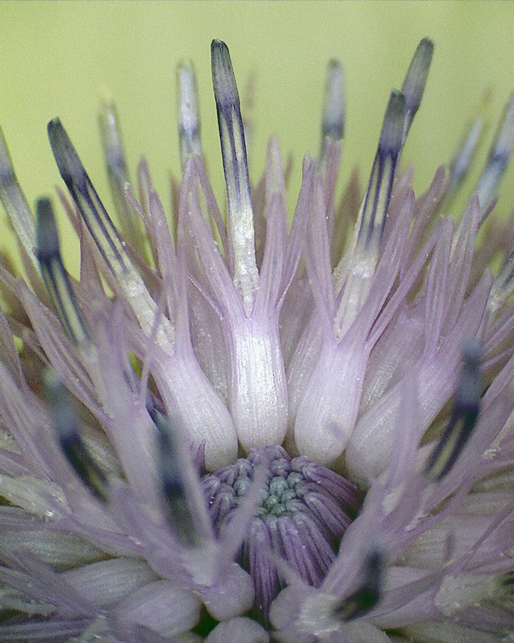 Wiesenflockenblume 06
