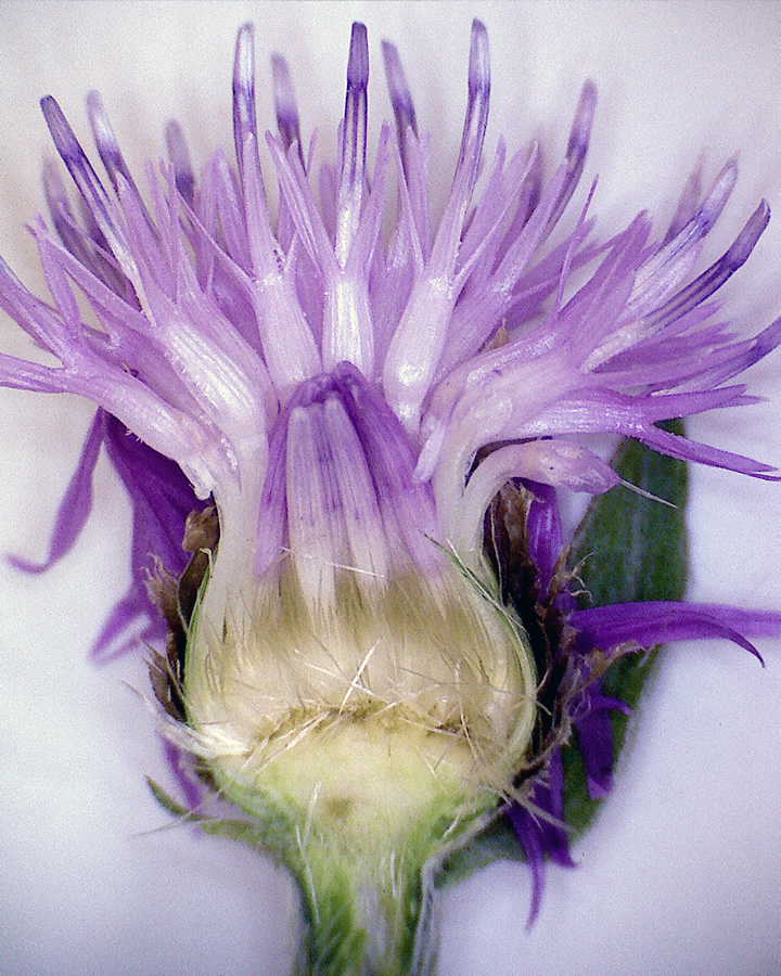 Wiesenflockenblume 08
