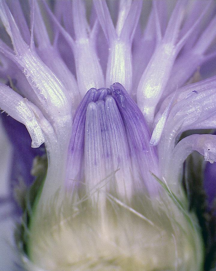 Wiesenflockenblume 09