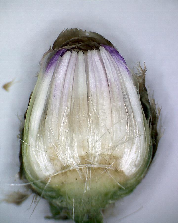 Wiesenflockenblume 13
