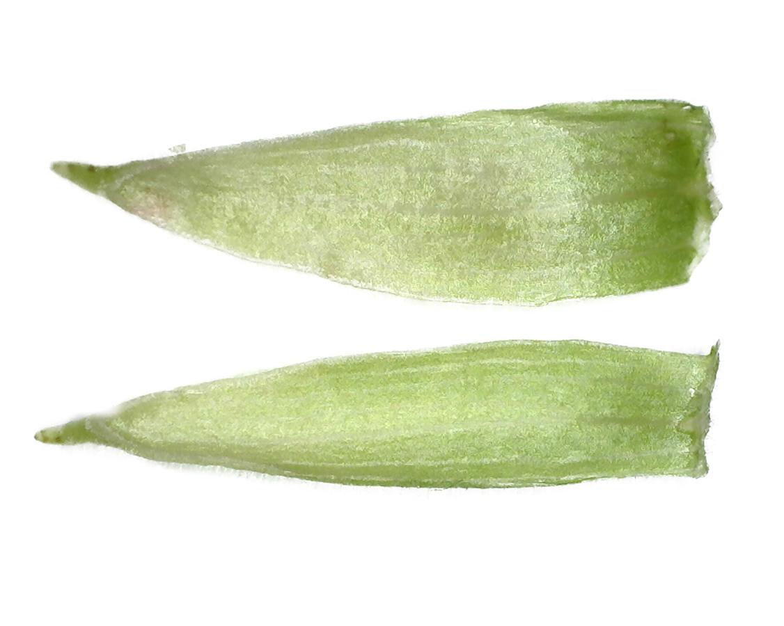 Zottiges Weidenröschen 12