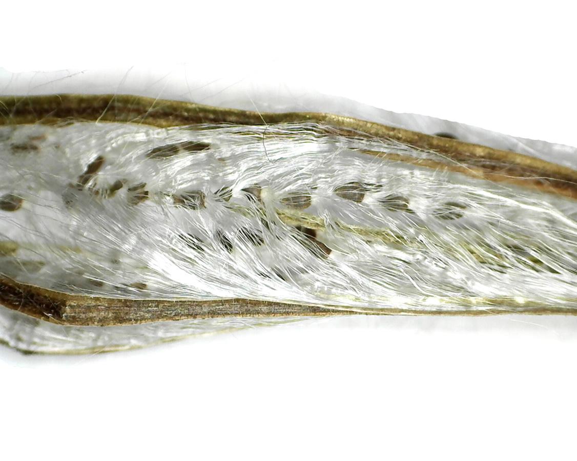 Zottiges Weidenröschen 31