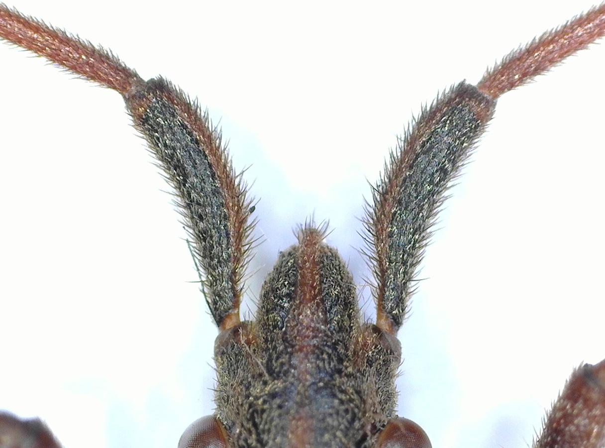 Amerikanische Kiefern- oder Zapfenwanze 15