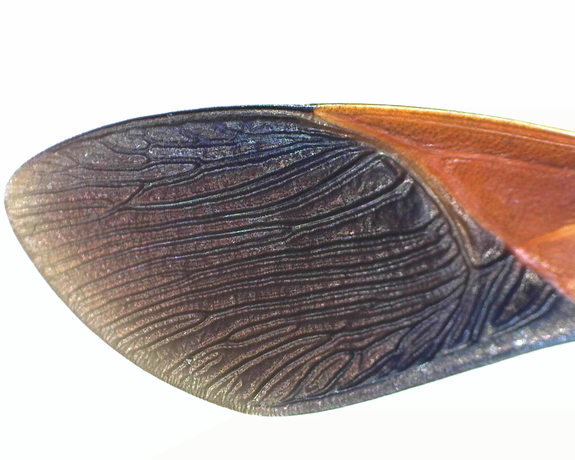 Amerikanische Kiefern- oder Zapfenwanze 25