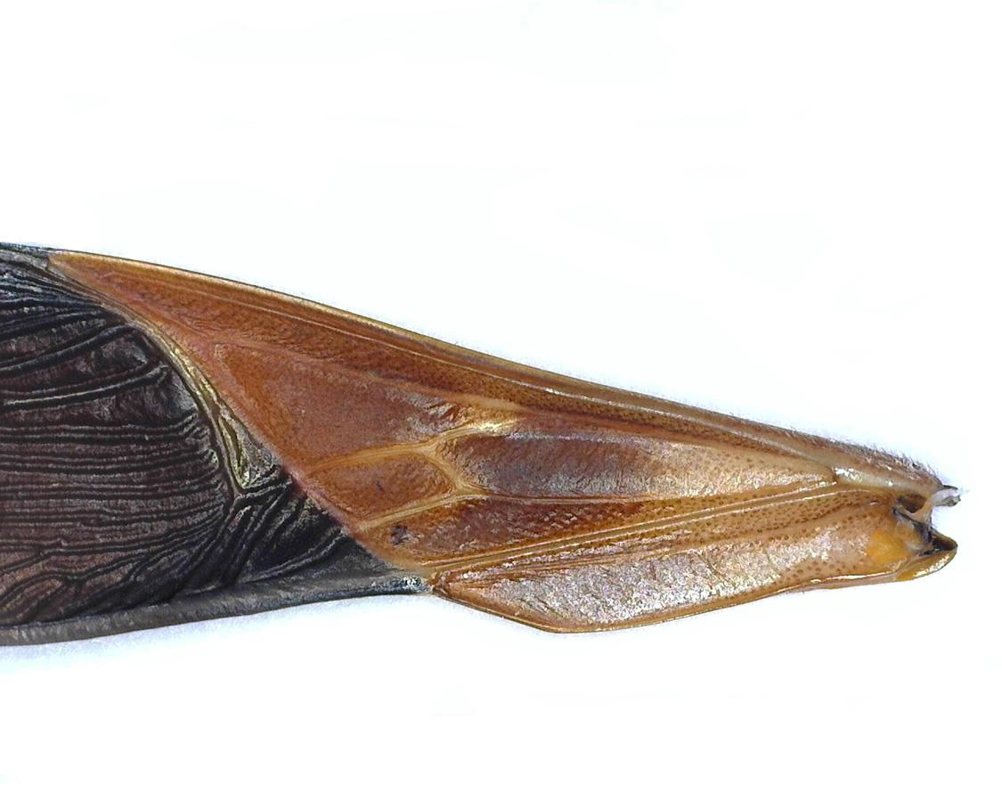 Amerikanische Kiefern- oder Zapfenwanze 26