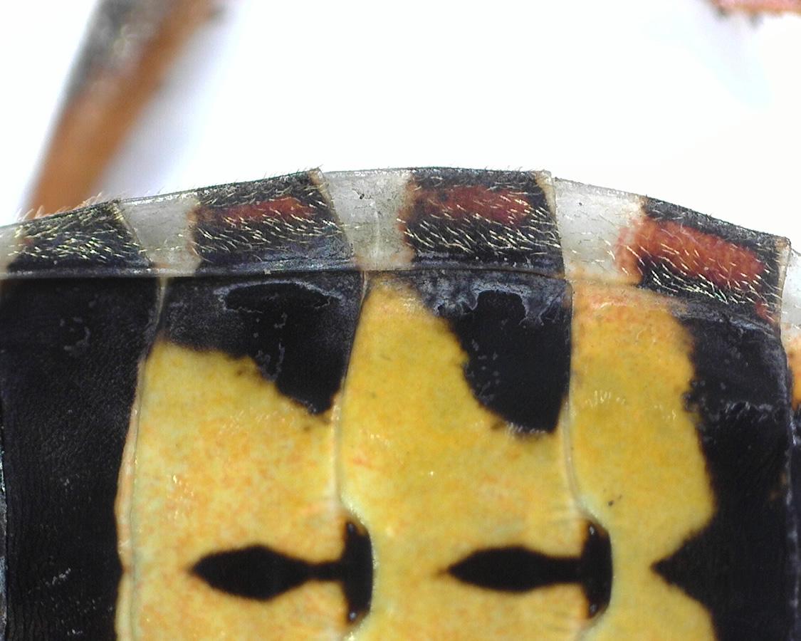Amerikanische Kiefern- oder Zapfenwanze 30