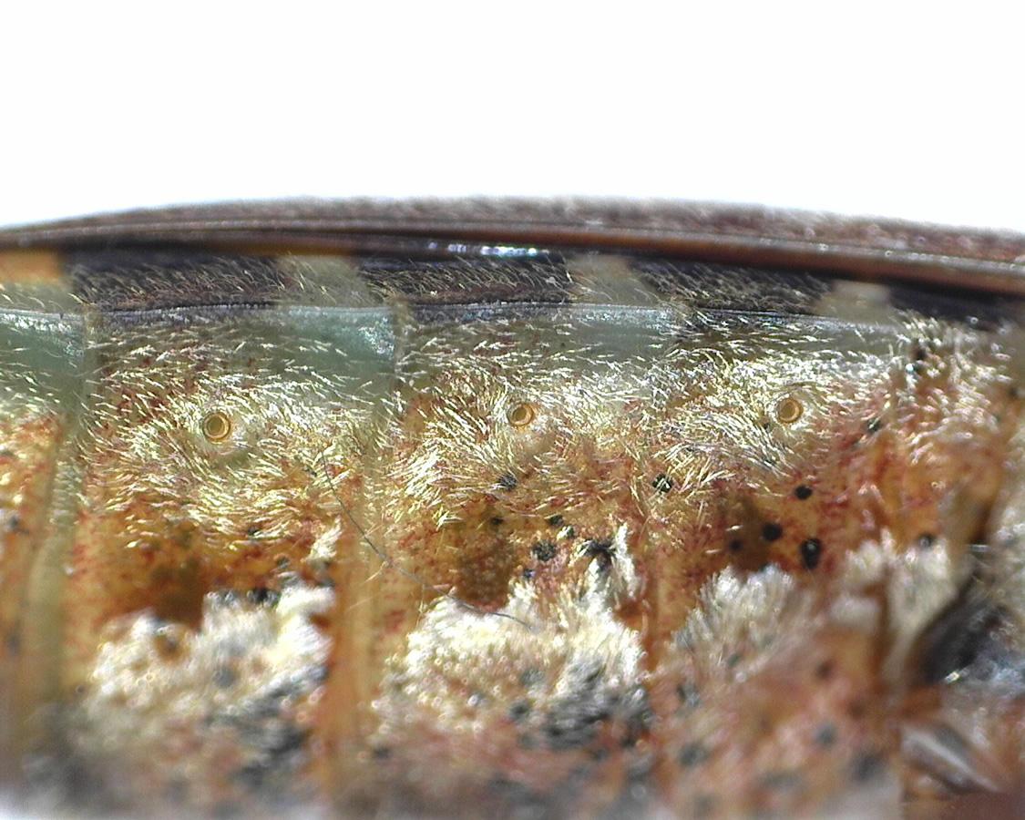 Amerikanische Kiefern- oder Zapfenwanze 34