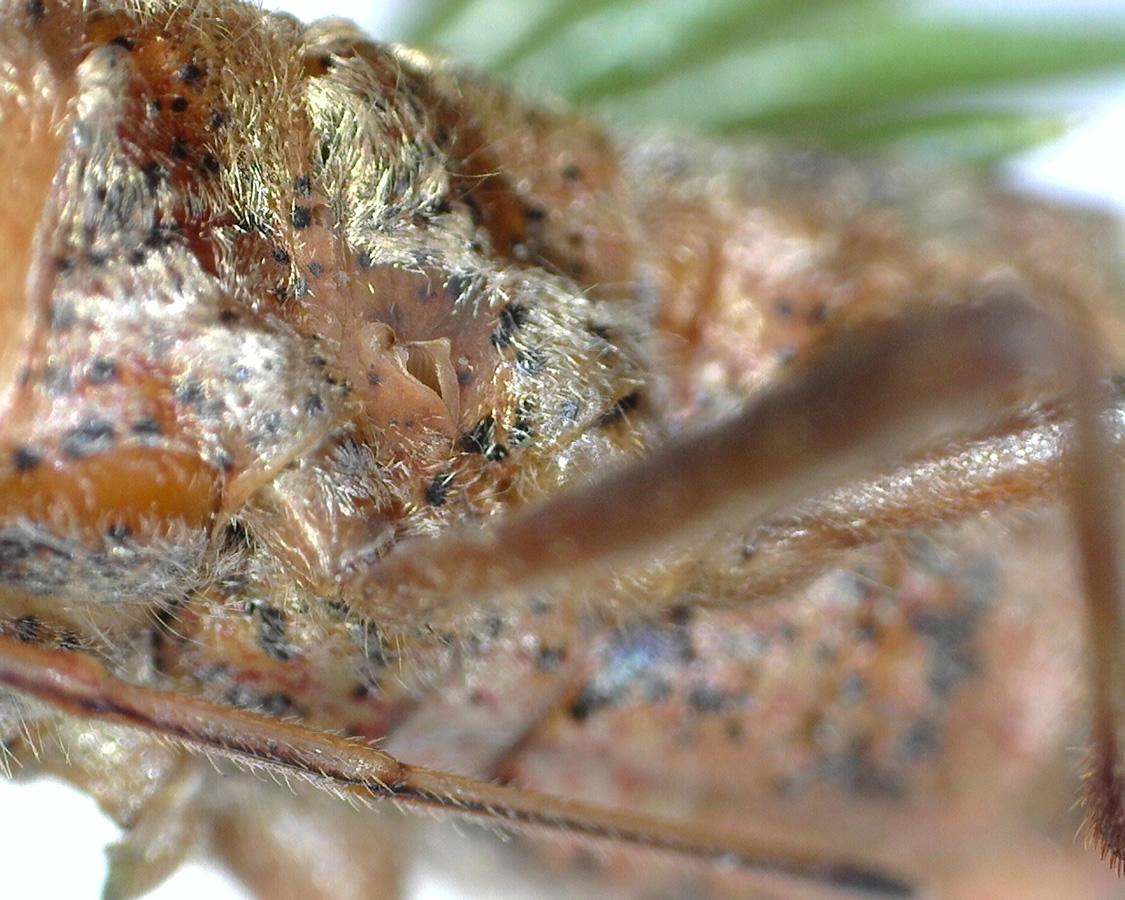 Amerikanische Kiefern- oder Zapfenwanze 36