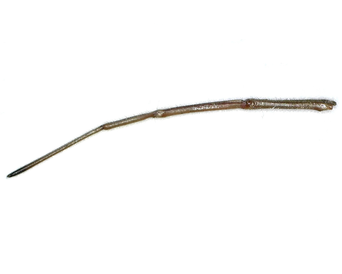 Amerikanische Kiefern- oder Zapfenwanze 45