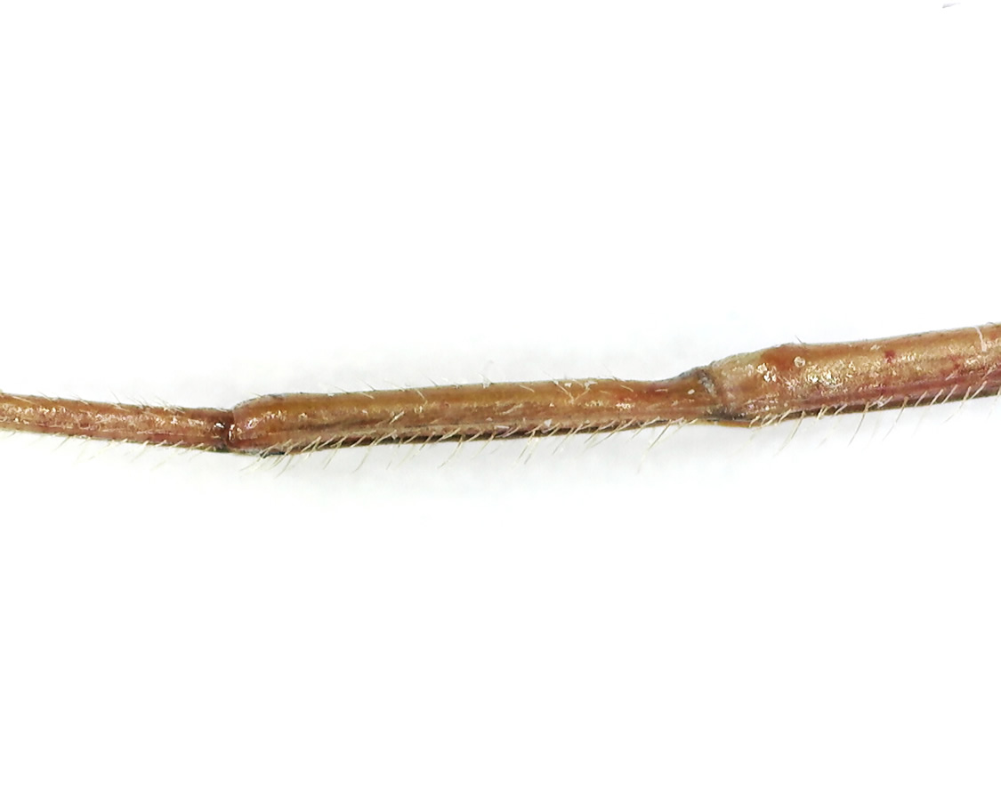 Amerikanische Kiefern- oder Zapfenwanze 46