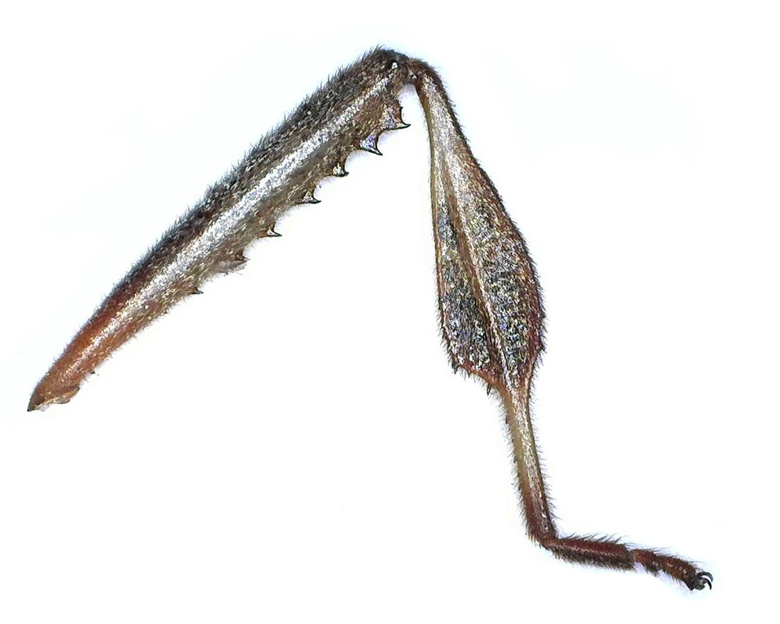 Amerikanische Kiefern- oder Zapfenwanze 57