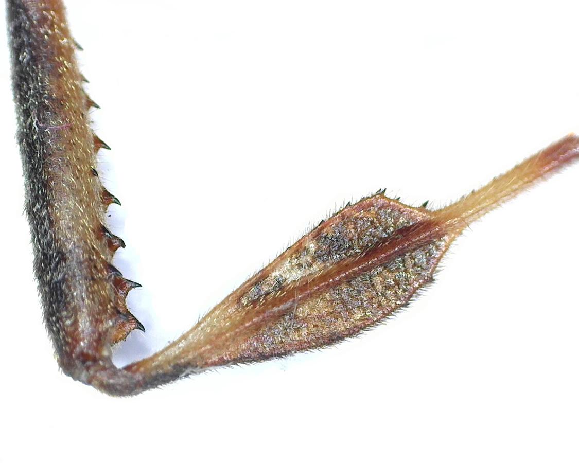Amerikanische Kiefern- oder Zapfenwanze 58