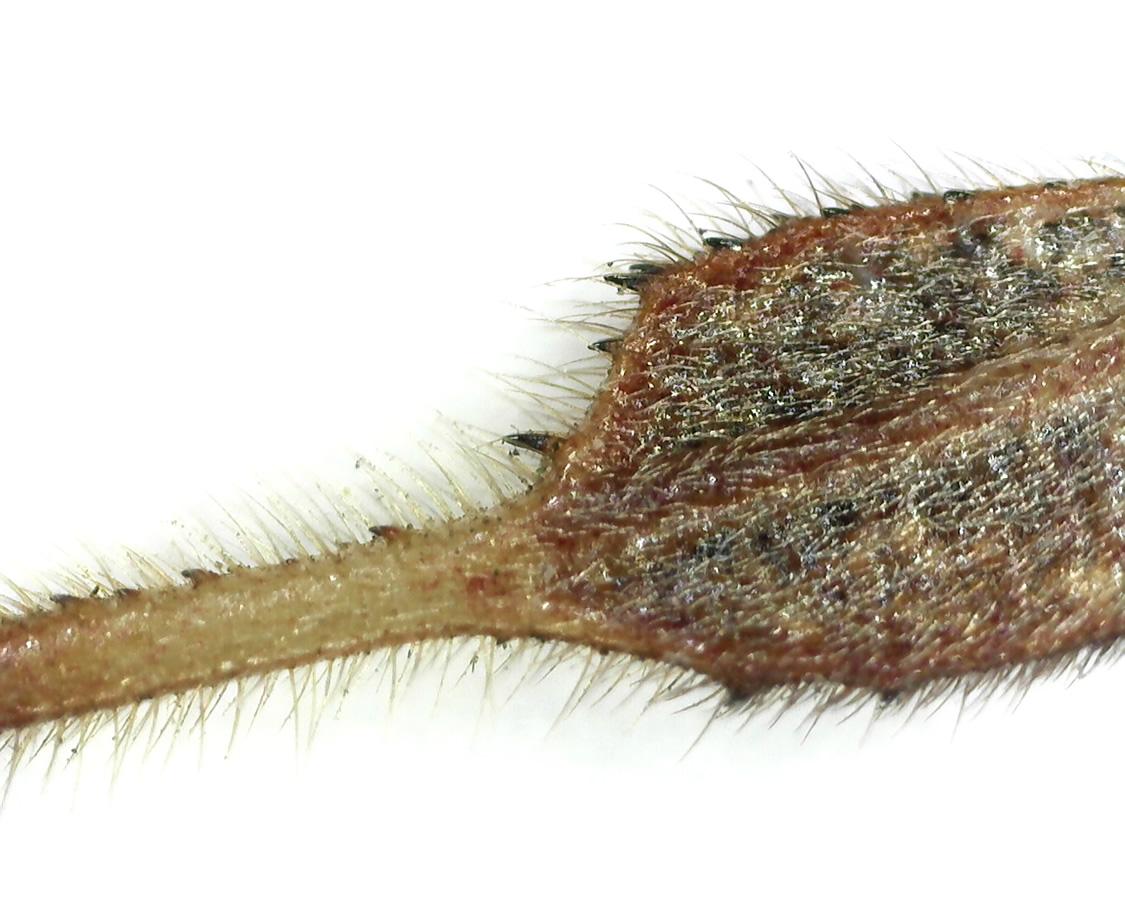 Amerikanische Kiefern- oder Zapfenwanze 60