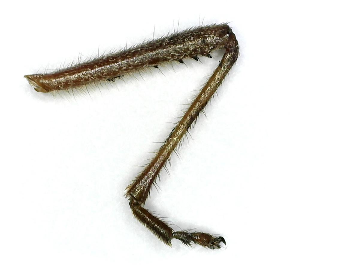 Amerikanische Kiefern- oder Zapfenwanze 67