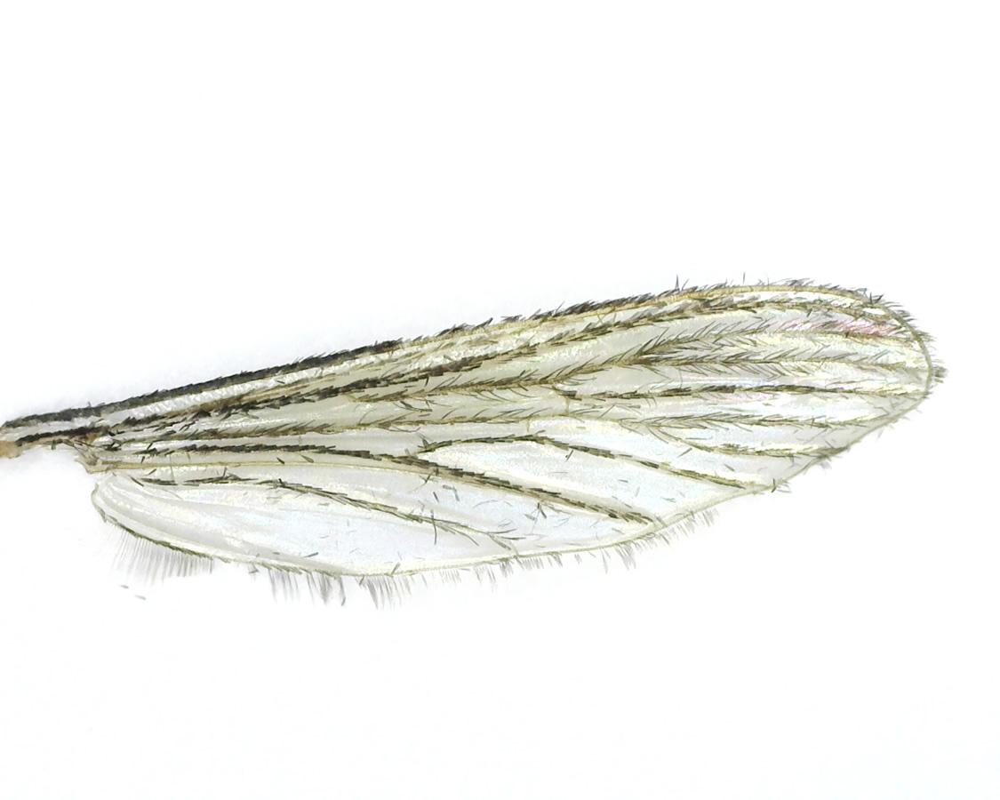 Stechmücke 16