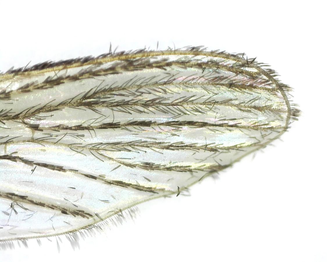 Stechmücke 17