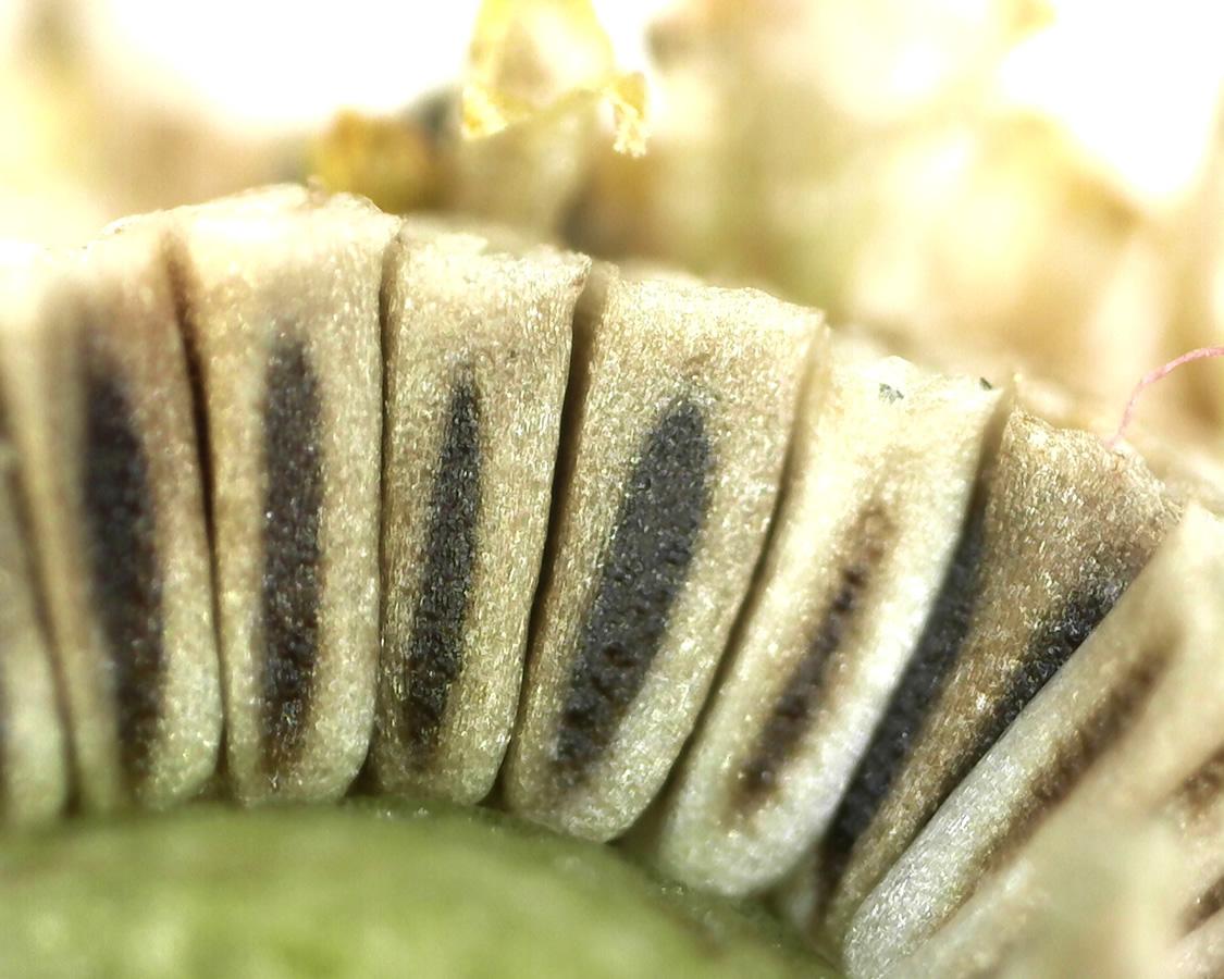 Geruchslose Kamille