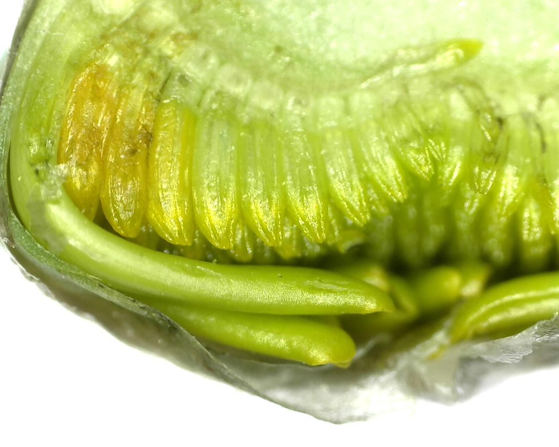Saat-Wucherblume